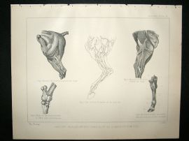 Miles Practical Farriery C1875 Antique Print. Anatomy of The Hinder Extremities